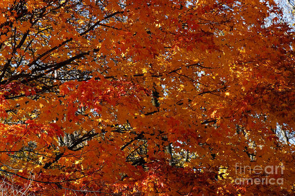 Photograph - Red Gold Autumn by Linda Shafer