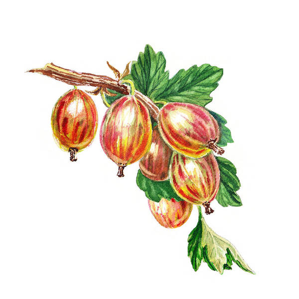Painting - Red Gooseberries Bunch by Irina Sztukowski
