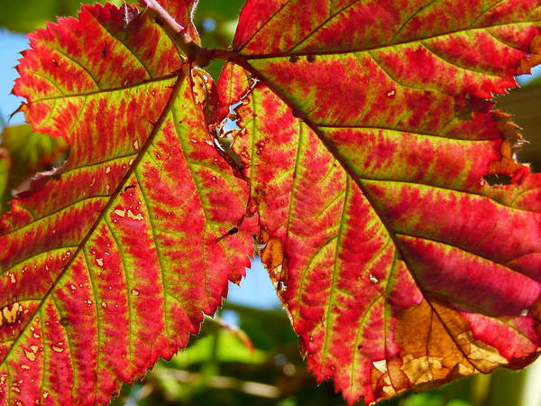 Photograph - Red Grape Leaf by Jeff Lowe