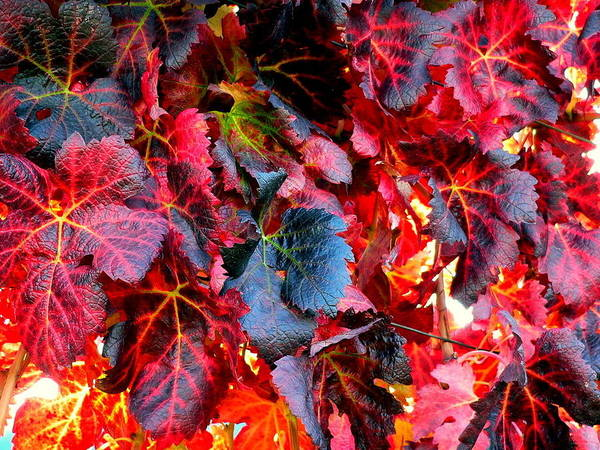 Photograph - Red Grape Vine Leaves by Jeff Lowe