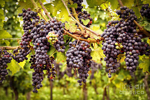 Horticulture Photograph - Red Grapes In Vineyard by Elena Elisseeva