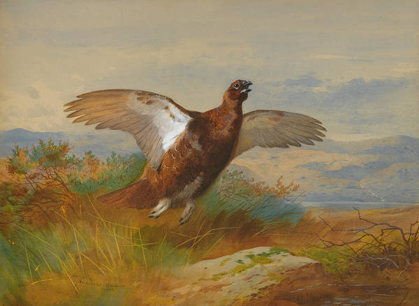 Wall Art - Painting - Red Grouse In Flight by Archibald Thorburn
