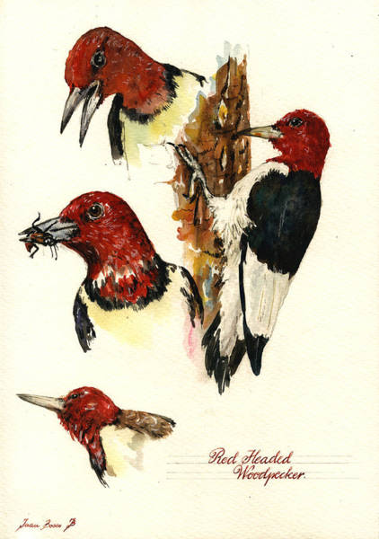 Wall Art - Painting - Red Headed Woodpecker Bird by Juan  Bosco