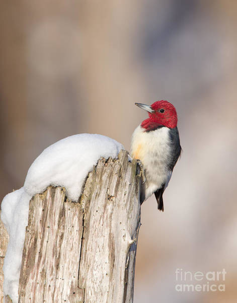 Photograph - Red-headed Woodpecker by Joshua Clark