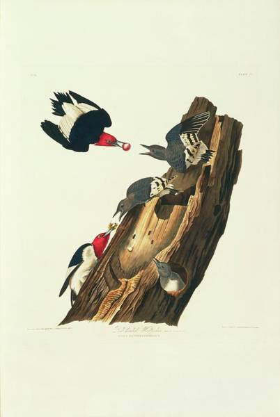 Aquatint Photograph - Red-headed Woodpeckers by Natural History Museum, London/science Photo Library