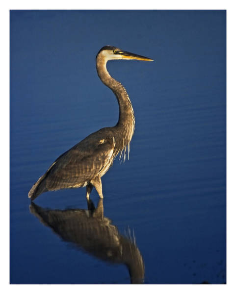 Red Heron Wading Art Print