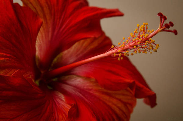 Photograph - Red Hibiscus 5 by Frank Mari