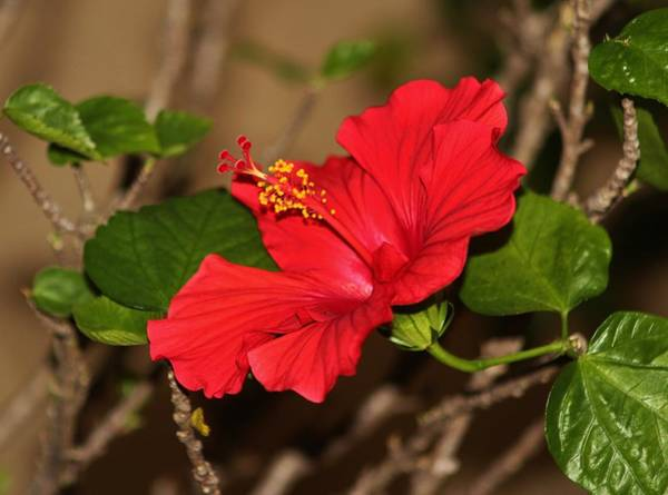 Photograph - Red Hibiscus Flower by Cynthia Guinn