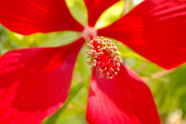 Red Hibiscus Flower Art Print