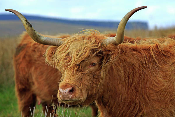 Cow Photograph - Red Highland Cow, Northumberland by Louise Heusinkveld