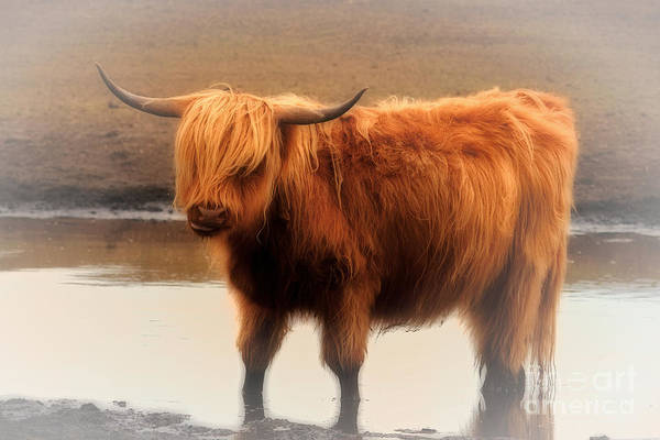 Photograph - Red Highland In The Mist by Nick  Biemans