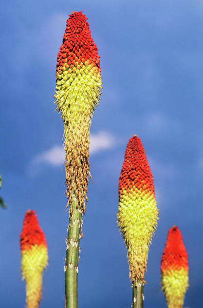 Red-hot Poker Photograph - Red Hot Poker Flowers by Dr. John Brackenbury/science Photo Library