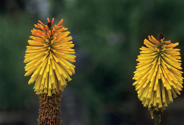 Red-hot Poker Photograph - Red Hot Poker (kniphofia 'dorset Sentry') by Adrian Thomas/science Photo Library