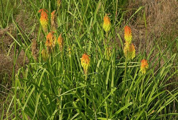 Red-hot Poker Photograph - Red-hot Poker (kniphofia Ritualis) by Bob Gibbons