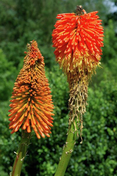 Red-hot Poker Photograph - Red Hot Poker (kniphofia Uvaria 'noblis') by Neil Joy/science Photo Library