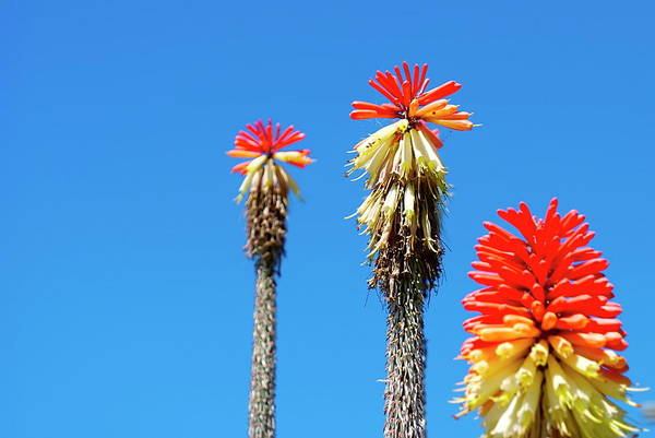 Red Hot Poker Or Torch Lily Kniphofia Art Print