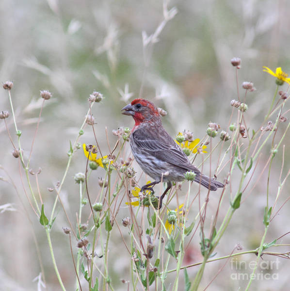 House Finch Wall Art - Photograph - Red House Finch In Flowers by Robert Frederick
