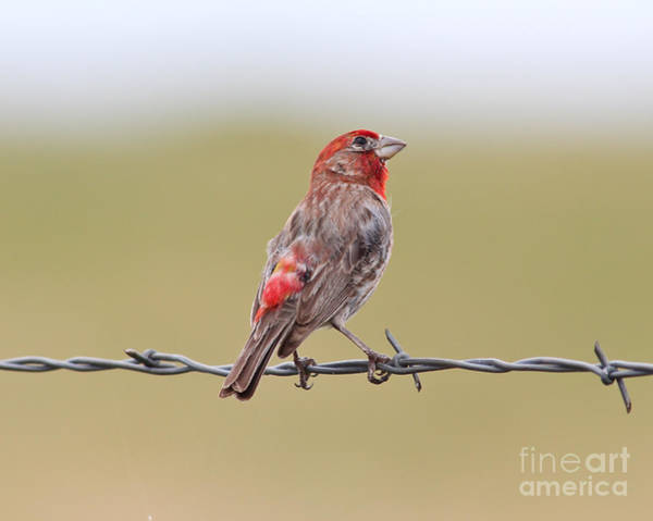 House Finch Photograph - Red House Finch On Barbed-wire by Robert Frederick