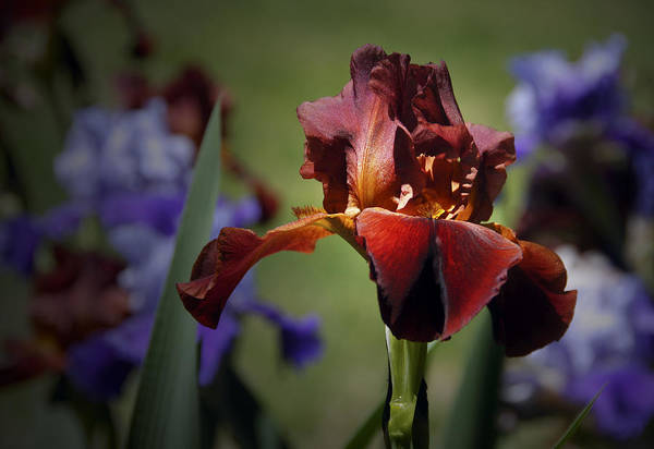 Photograph - Red Iris by Carol Erikson