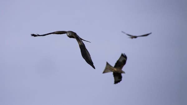 Wingspan Photograph - Red Kite Coming Through by Nigel Jones