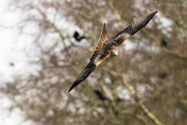 Flying Kite Photograph - Red Kite by Dr P. Marazzi/science Photo Library