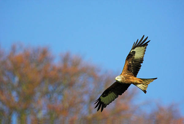 Flying Kite Photograph - Red Kite by Duncan Shaw/science Photo Library