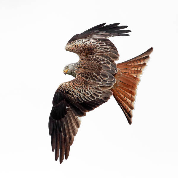 Photograph - Red Kite by Grant Glendinning