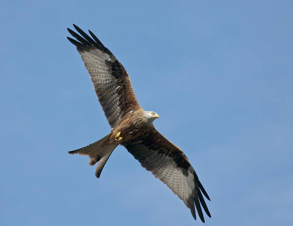 Photograph - Red Kite In Flight by Gary Eason