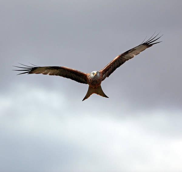Kite Photograph - Red Kite In Flight by Grant Glendinning