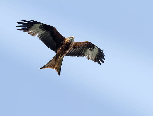 Flying Kite Photograph - Red Kite In Flight by Ian Gethings