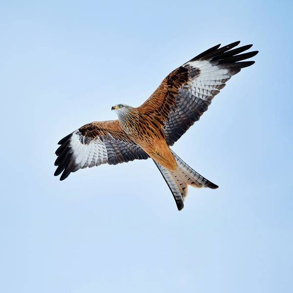 Wall Art - Photograph - Red Kite In Flight by Linda Wright/science Photo Library