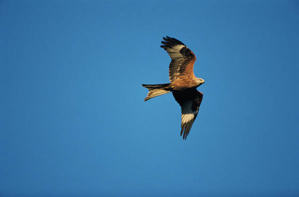 Flying Kite Photograph - Red Kite by Leslie J Borg/science Photo Library