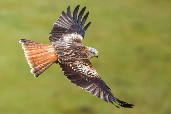 Kite Photograph - Red Kite Low Fly by Izzy Standbridge