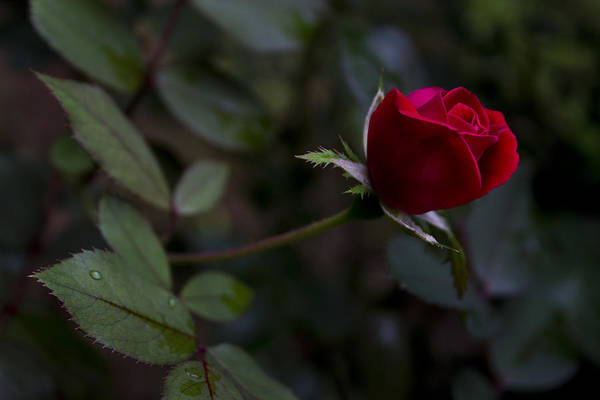 Photograph - Red Knockout Rose by Ben Shields