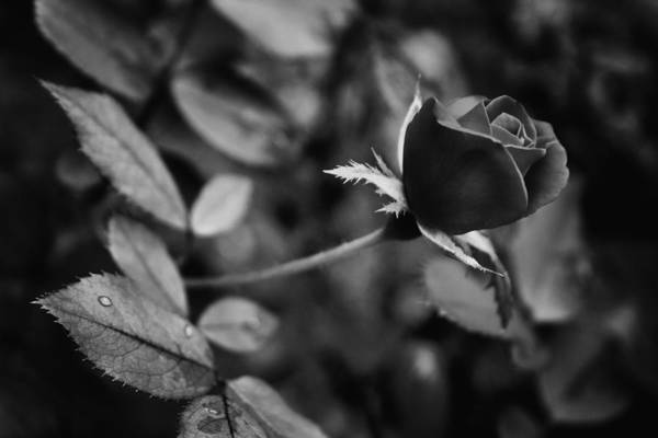 Photograph - Red Knockout Rose In Monochrome by Ben Shields