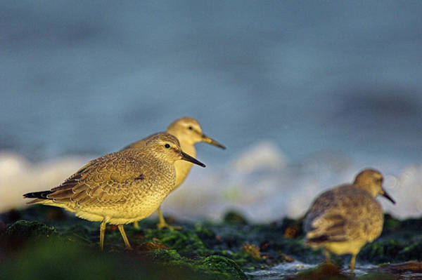 Knot Photograph - Red Knots by Duncan Shaw/science Photo Library