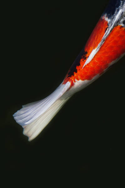 Koi Photograph - Red Koi Tail Down Vertical by Rebecca Cozart