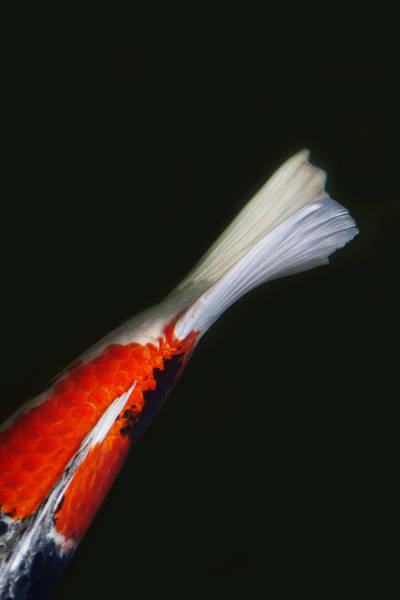 Koi Photograph - Red Koi Tail Up Vertical by Rebecca Cozart