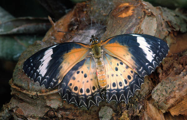 Wingspan Photograph - Red Lacewing Butterfly by Nigel Downer