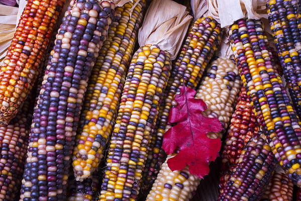 Indian Corn Photograph - Red Leaf And Indian Corn by Garry Gay