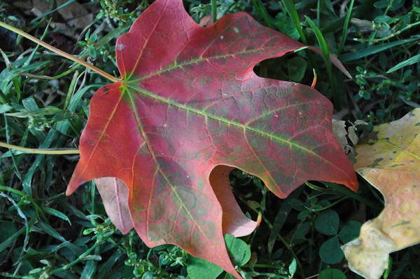 Photograph - Red Leaf by Frank Madia