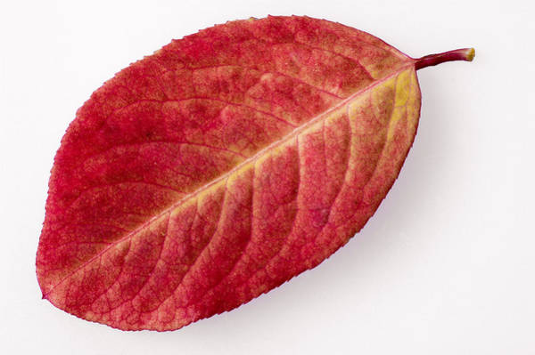 Photograph - Red Leaf In Fall With White Background by Matthias Hauser