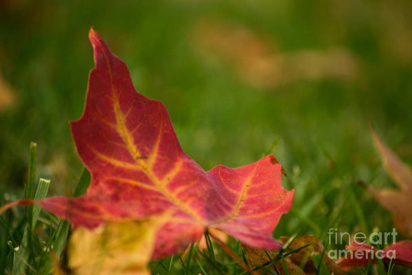 Photograph - Red Leaf by Rima Biswas