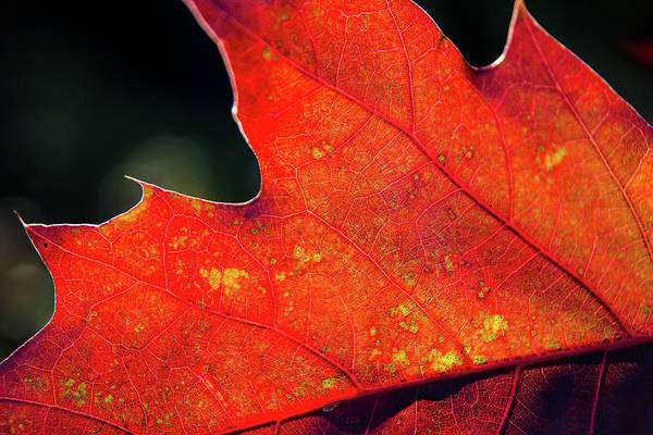 New Hampshire Photograph - Red Leaf Rising by Joe Martin A New Hampshire Portrait Photographer