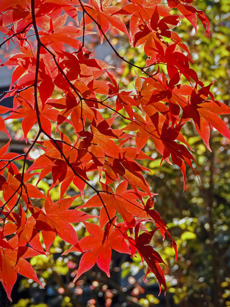 Photograph - Red Leaves 1 by Robert Mitchell