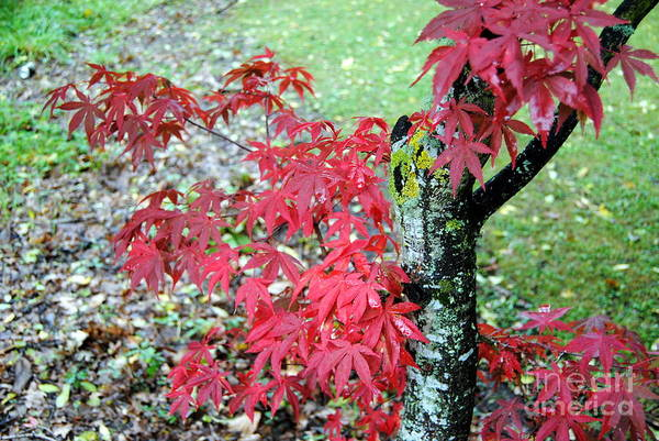Photograph - Red Leaves 2 by Rachael Shaw