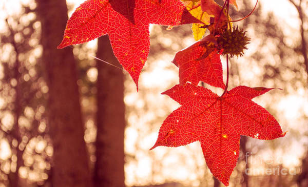Photograph - Red Leaves 2 by Rima Biswas