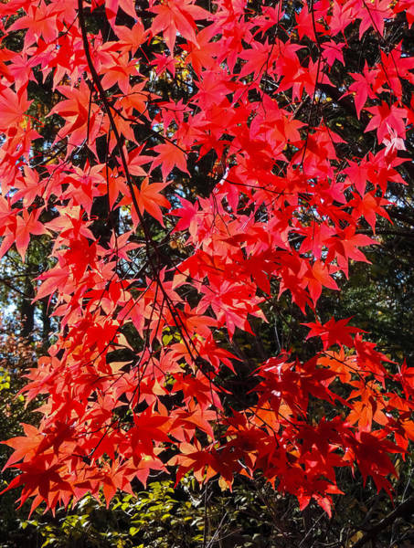 Photograph - Red Leaves 2 by Robert Mitchell