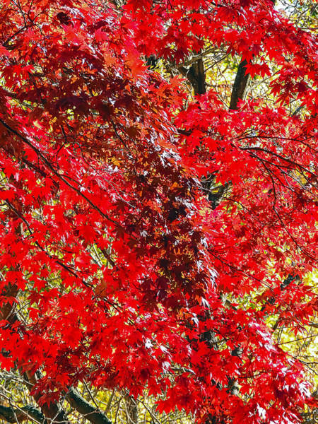Photograph - Red Leaves 3 by Robert Mitchell