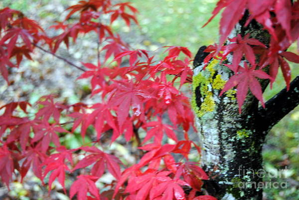 Photograph - Red Leaves by Rachael Shaw